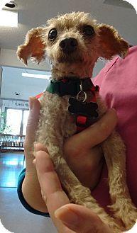 Wilmington, DE - Miniature Poodle Mix. Meet Simon a Dog for Adoption.