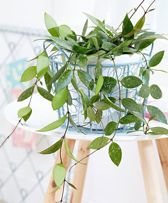 Hoya Gracilis Available From Bakker Houseplant Plants House