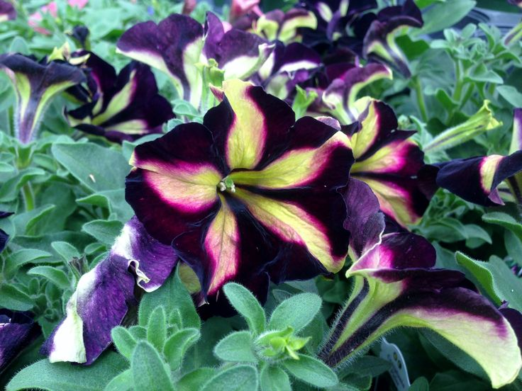 Crazytunia -Pulse Petunia. A stunning specialty annual grown at LMG.
