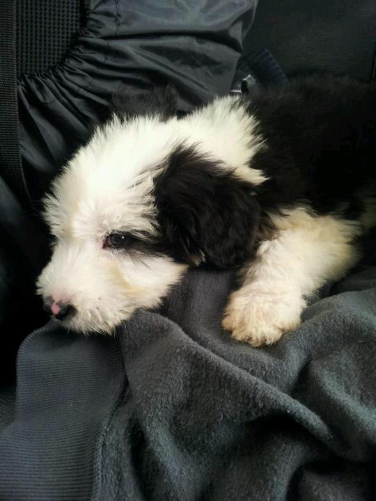 Mi ovejero inglés bebé #oldenglishsheepdog #puppy #bobtail #baby