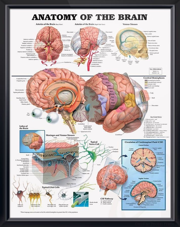 Anatomy Of The Brain Anatomy Poster Depicts Base And Right Side