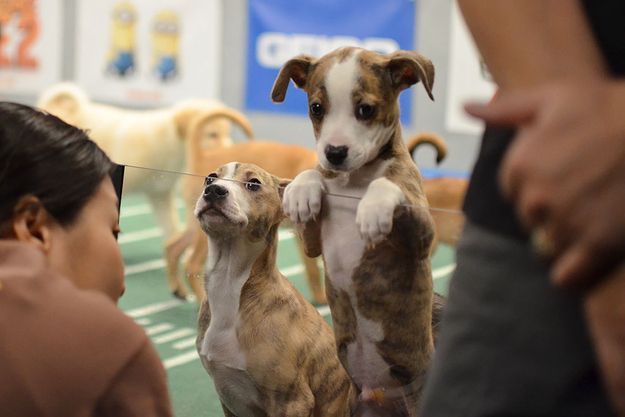 When this puppy peeked over the barrier. | The 58 Cutest Things Found Behind The Scenes At The Puppy Bowl