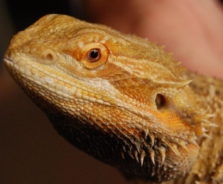 how to help bearded dragon shed