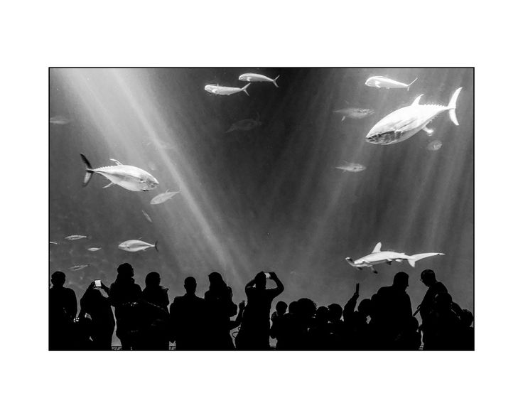 Aquarium de Monterey - L'aquarium de Monterey, en Californie, est l'un des plus grands du monde ! Et un des plus fréquentés, avec 1,8 millions de visiteurs par an. Il reconstitue intégralement le milieu naturel de la baie de Monterey et accueille plus de 30 000 animaux.  Ludique et pédagogique, il propose de découvrir les espèces de la baie : tortue de mer, requins marteau, thons, hippocampes,… avec une place particulière pour les méduses.