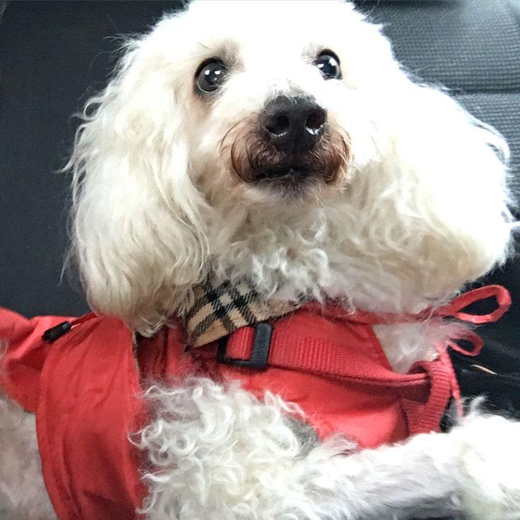 Lucky barboncino bianco nano con vestitino rosso