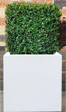 Buxus cube planted in White Fibrestone planter.