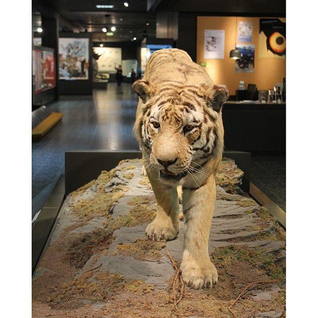 Großstadtsafari im Zoologischen Museum. Es macht immer wieder Spaß Tiger und Co zu entdecken. #zoologischesmuseumhamburg #hamburg #wildetiere #großstadtsafari #stadtschwalben #stadtschwalbenontour #hamburgmitkindern