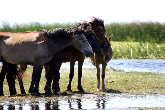 Wild Danube Delta Horses