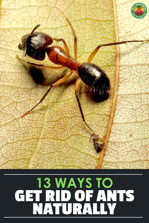 a969bf019656aff57222f7182b179da4 - How To Get Rid Of Ants In Vegetable Garden Naturally