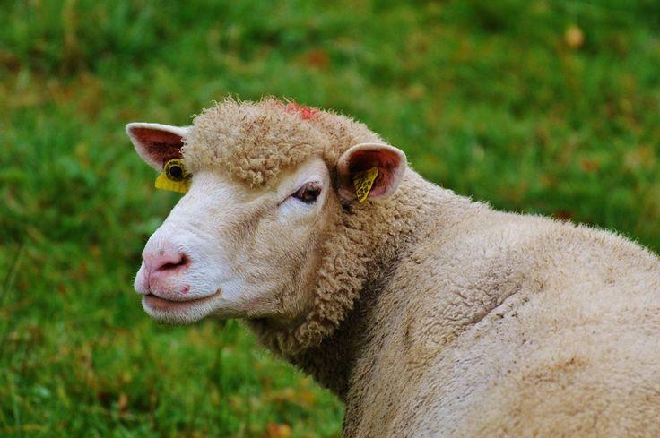 Runo z owiec to niezwykle drogocenny materiał. Ekologiczny wypas owiec to zadowolone zwierzęta, które mają pulchną sierść. Łykowate owcze runo posiada charakterystyczne piętna, a to czyni, że można z niego generować produkty bardzo wysokiej jakości. Wełna owcza uzyskiwana jest przez obgolenie chodzących zwierząt na pastwiskach przez hodowców. Wyrabia się z niej włókniny. Na Dalekim Wschodzie praktykowano to już w starożytności.