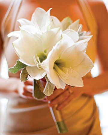 Bridesmaids' Bouquets  Large amaryllis blooms, wired into clusters with a collar of gray dusty miller, make up the bridesmaids' nosegays. Flowers by Matthew Robbins Design.