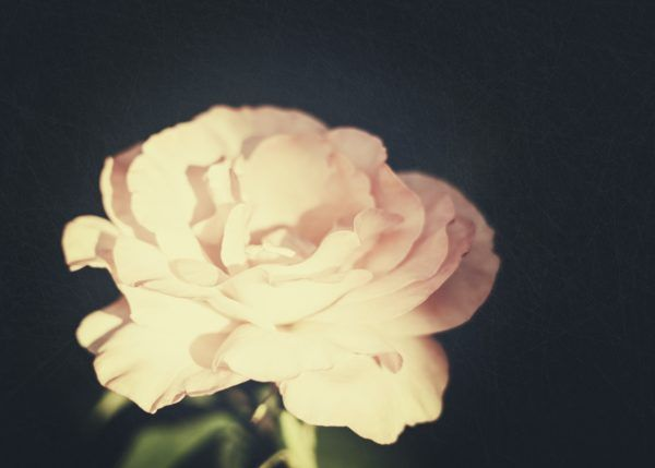 Grungy flower. Floral backgrounds with pink rose