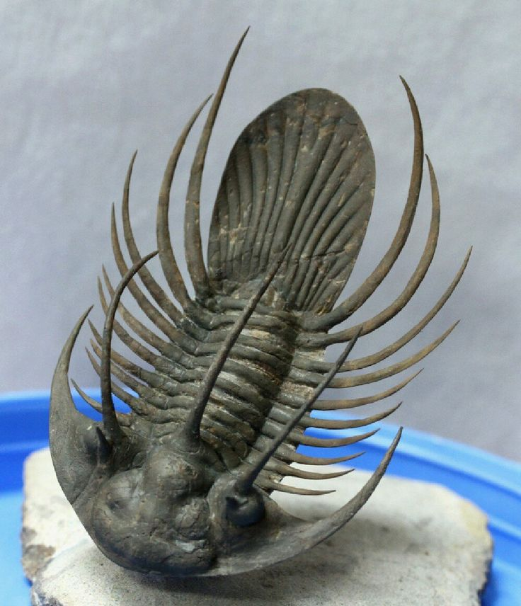 Trilobites are a well-known fossil group of extinct marine arthropods that form the class Trilobita. Trilobites form one of the earliest known groups of arthropods