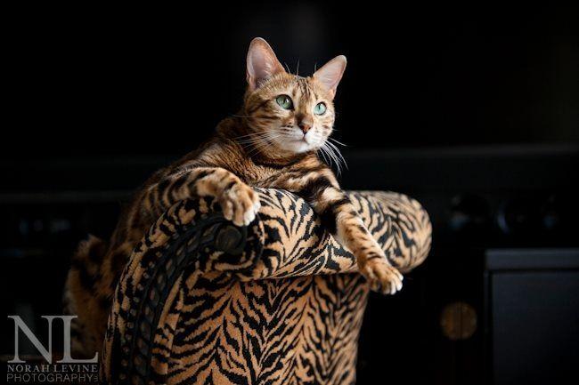 Bengal Cats As Pets   thecatwallpaper.com
