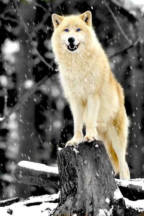 rare colored wolves - Google Search | Animals | Arctic ...