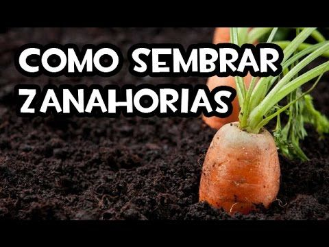 Como Sembrar Zanahorias    Huerto Organico    La Huertina De Toni - YouTube