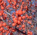 winterberry holly bushes in december