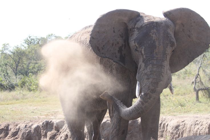Another diet bath for Jabulani. Elephants take dust baths to protect them from the sun and insects.