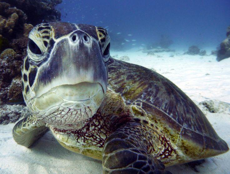 Read: Our new paper on green & loggerhead turtles in Mozambique  https://doi.org/10.3389/fmars.2016.00288 … @simonpierce @jessmozturtles @Fuentes_MMPB @turtlesjcu  Jessica Williams (@jessmozturtles) | Twitter