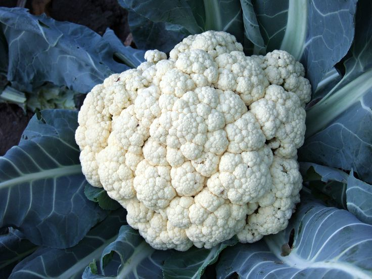 Big Cauliflower - A big cauliflower in my vegetable garden.