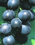 Vitis vinifera 'Muscat Bleu' (80-100 cm) - Weintrauben-Pflanze (blaue Rebsorte)