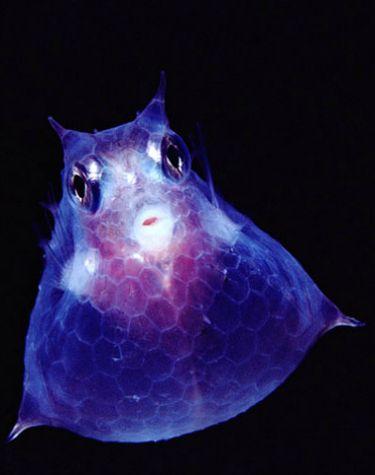 Roundbelly Cowfish