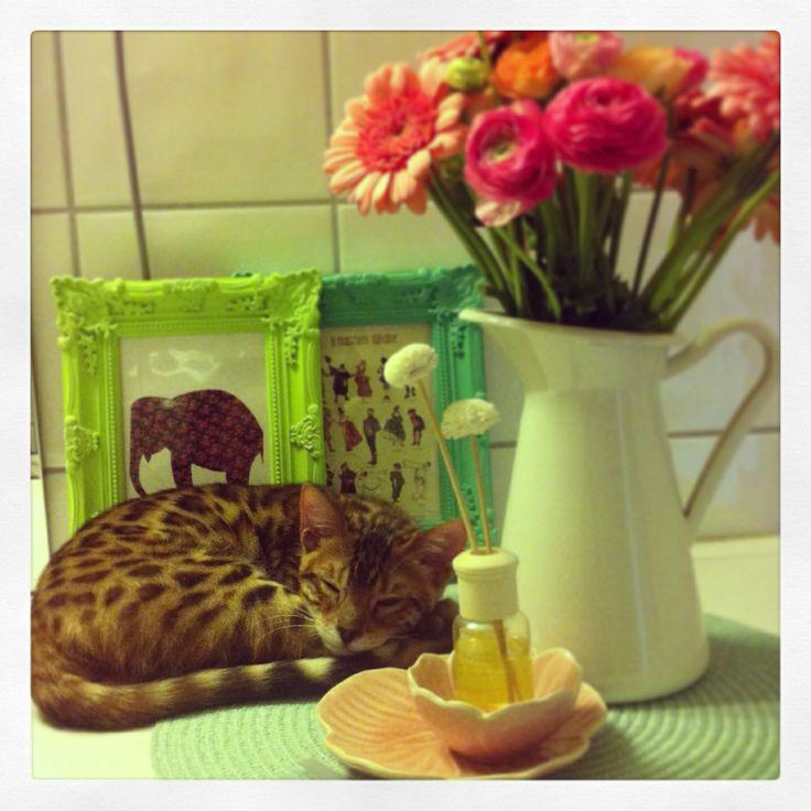 Sleepy Cat bengal cat