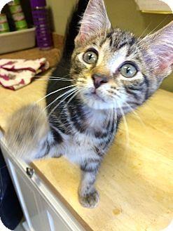 Bengal Kitten for adoption in Island Park, New York - Bobbie
