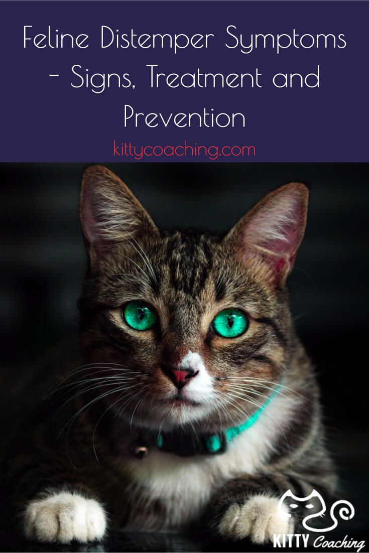 Learn about feline distemper: What are the symptoms, can kittens get it, how you can prevent it, and how to treat it.