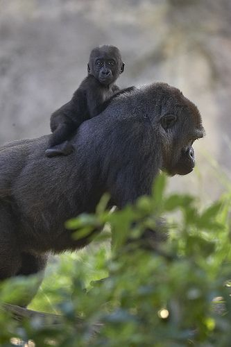 When I was a baby my mother walked by the gorillas at