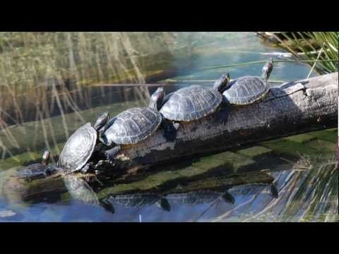 Fascinating Facts about the Red Eared Slider Turtle