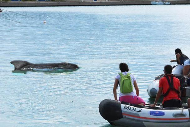 """#Loano, ecco la balenottera che si è """"persa"""" nel porto"""