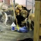 Della the yellow Lab unlocks the gates at the Happy Tails Resort and frees her friends...