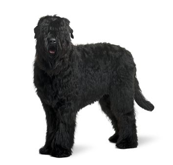 Black Russian Terrier  http://clippersnshears.com/akc-breeds-working-group/