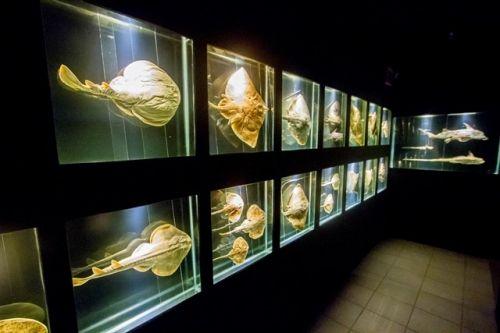 Corredor com esqueletos de raias e tubarões. Museu Oceanográfico da Univali. Na reta final de montagem na Univali de Piçarras, museu proporcionará viagem ao fundo do mar - Notícias do Dia Online. Flávio Tin.