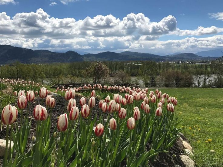 View from Heritage Park, Canada 150 Tulips in bloom. Mission BC