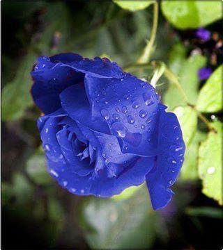 Mavi Gül'ün Hikayesi : Bundan uzun yıllar önce ülkenin birinde Yusuf adında bir delikanlı yaşardı.Yusuf fakir ama gayet çalışkan bir gençti. Yusuf çiçek yetiştirip satarak geçinirdi.Onun ünü bütün ülkede bilinirdi.Hiçbir çiçek onun bahçesindekiler kadar güzel değildi. Padişah ölen bahçıvanı yerine Yusuf u işe almış.Yusuf başlamış sarayın bahçesini güzelleştirmeye.Bir gün pencereden bahçeyi izleyen padişah kızını görür ve ona o an deliler gibi aşık olur.Gözlerini ondan alamaz ve bir süre onu…