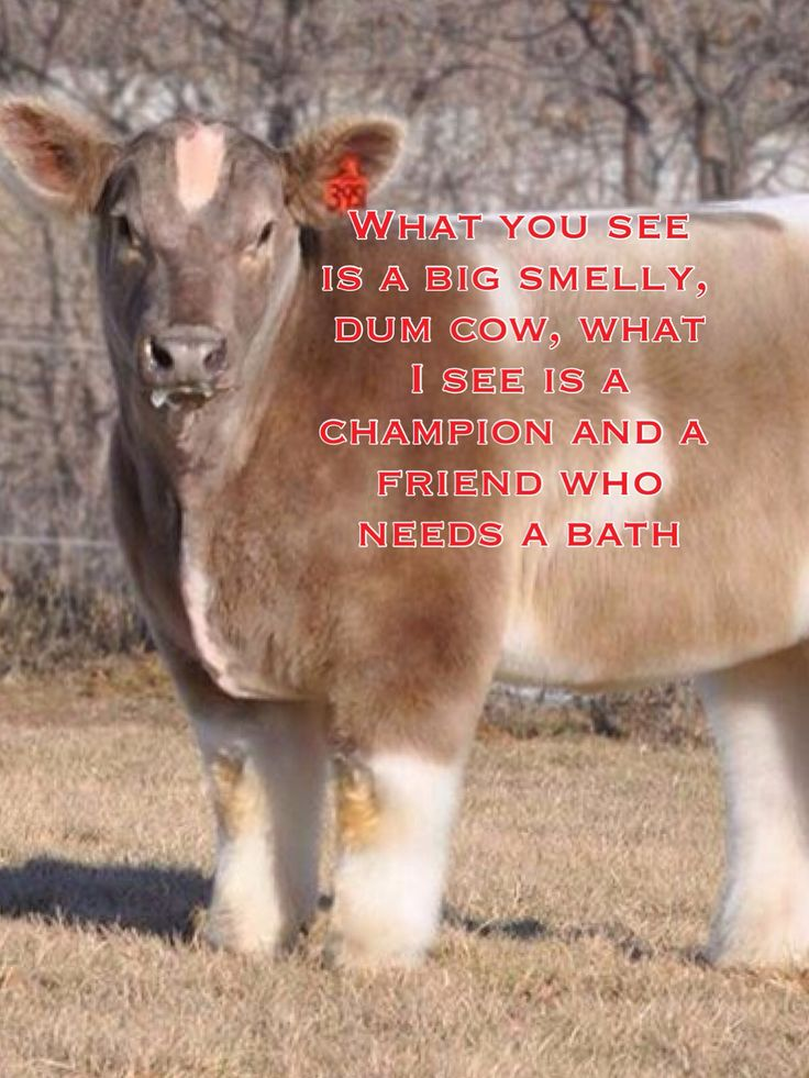 same goes for all large animals shown at county fairs and jackpots :)