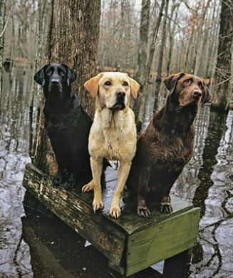 Chocolate Lab Hunting Dog | www.pixshark.com - Images ...