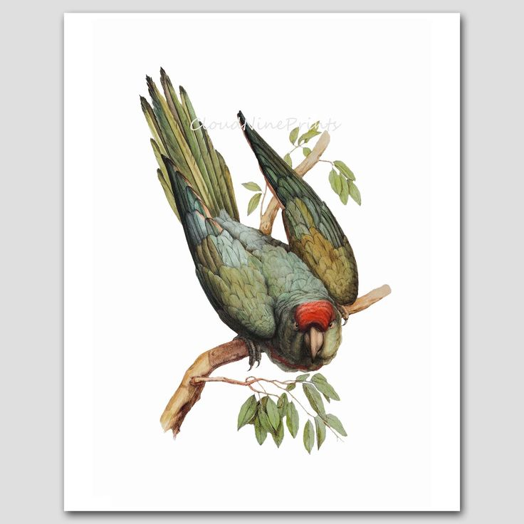 "Parakeet Art, Budgie Print (Antique Bird Wall Decor, Green Parrot) 19th Century Artist -- Unframed. Parakeet Wall Art, Bird Art Print (Bird Watching Gift, Antique Home Decor) -- Unframed Bird Print From a series of ""Antique Bird Artist"" illustrations (Sold individually or in specially priced sale sets) One unframed ""Wagler's Parakeet"" fine art print of a colorful 1857 ornithology painting by J. Daverne The 19th century artist has portrayed a parakeet whose symmetrical red feathers are..."