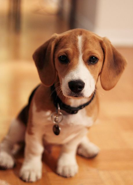 Adorable Beagle puppy