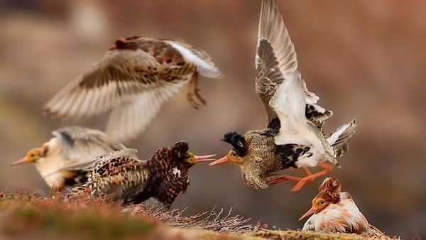 Vítězná fotografie bojujících samců jespáků