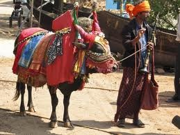 There is no better place to see and experience the holy cows of India than Goa. Holidays Cheep has special promotional holiday offers not to be missed. 7 nights' accommodation for £ 110 or 14 nights for £360.   Take a look here:- http://www.holidayscheep.com/index.php/royal-palms  and make a booking or here for other exciting destinations: www.holidayscheep.com  Many know the cow is a Holy and protected animal in India but how many know why. See here…