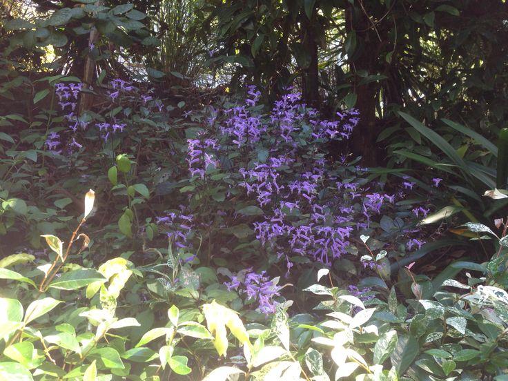 Plectranthus 'Mona Lavender', semi shaded garden