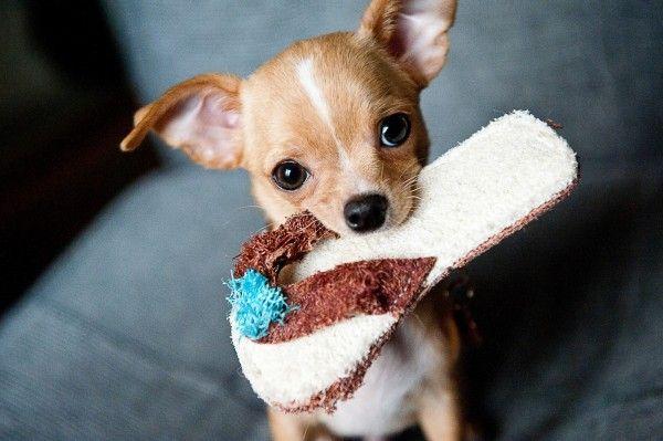 Adestrar seu cachorro dando recompensas pode funcionar, se for feito da maneira correta. Saiba tudo sobre o assunto!