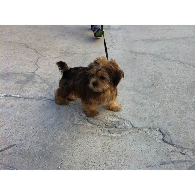 107 best images about Shorkie Puppies on Pinterest