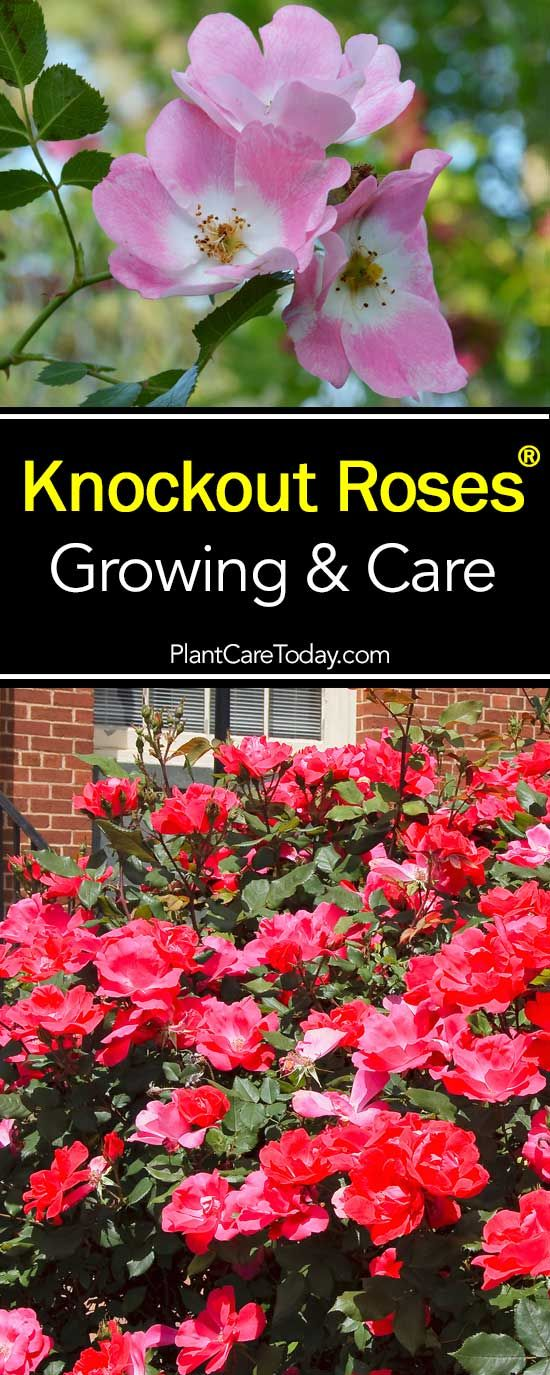 Knockout Rose care is so easy it saved the popularity of roses. The Knockout Rose is the most popular type of rose in the USA today. [LEARN MORE AND WHY]