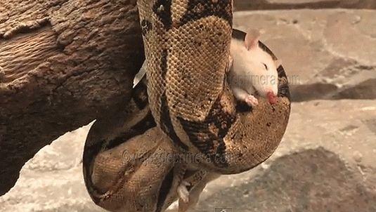 Boa constrictora asfixiando a una presa: no matan con veneno si no estrujando los pulmones de sus víctimas