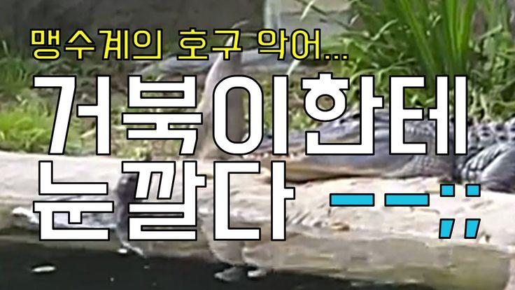 맹수계의 호구 악어 ㅠㅠ 거북이한테 눈까는 영상
