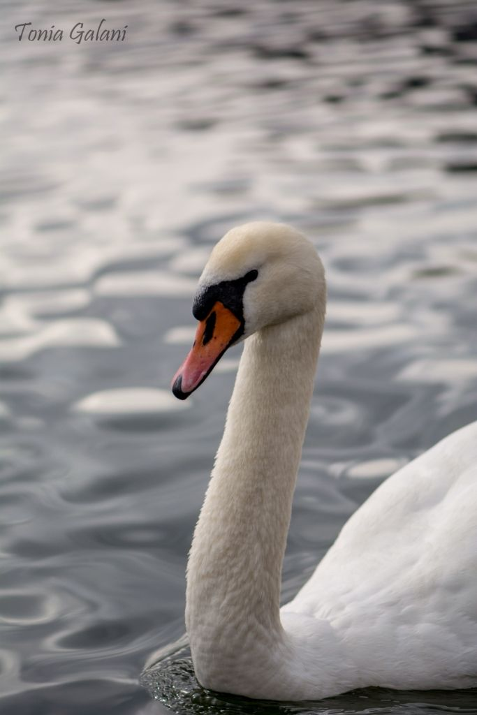 Swan grace... Kastoria lake